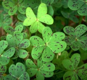 green shamrocks with brown specks
