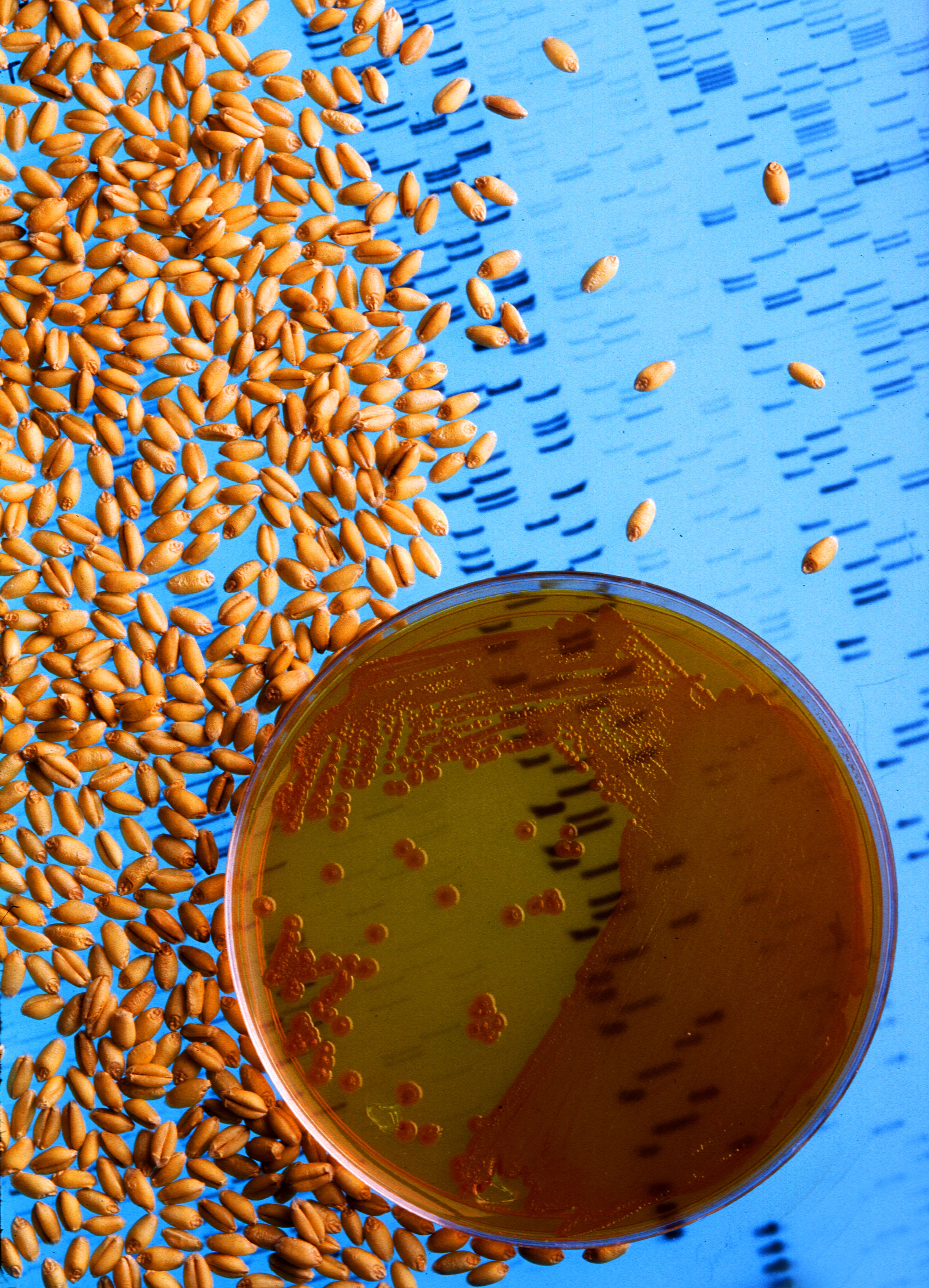 Bacteria_used_to_make_wheat_seeds_nearly_immune_to_wheat_take-all