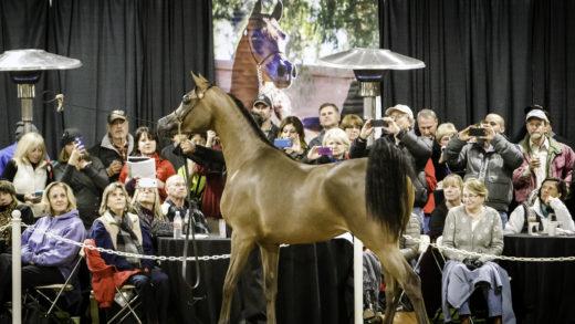 Annual Arab Horse Farm Tour