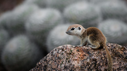 Sonoran Squirrels