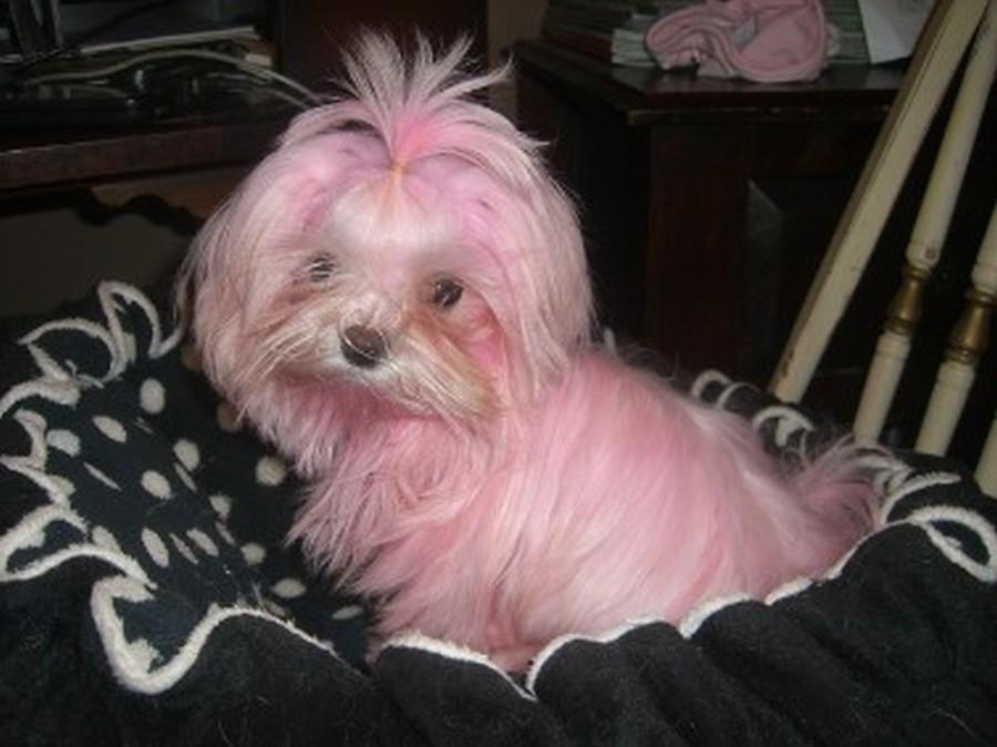 Pink Maltese puppy