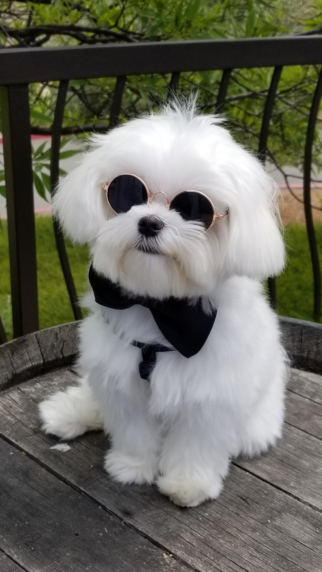 Ripple the Maltese