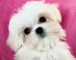 Bella Dolce Maltese puppy