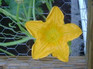 garden pumpkin blossom