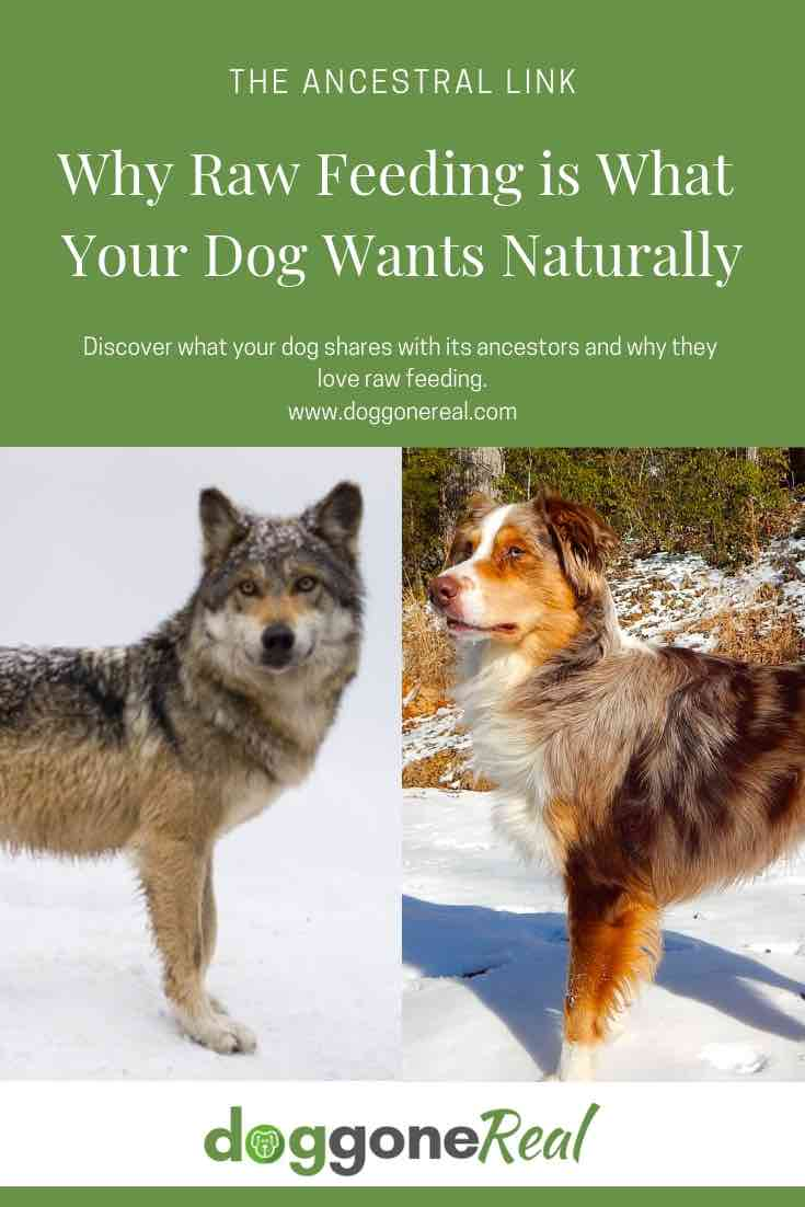 The Ancestral Link and Why Raw Feeding Is What Your Dog Wants Naturally