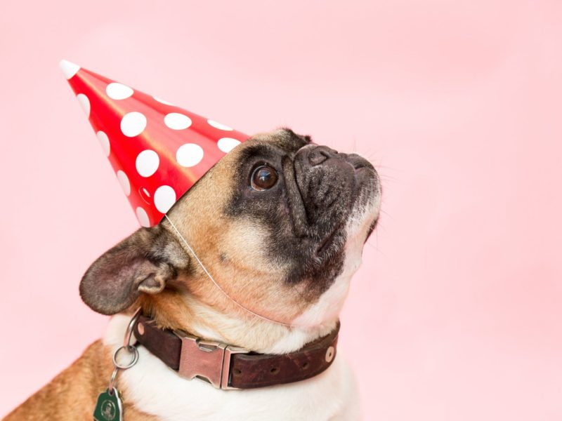 french-bull-dog-in party-hat
