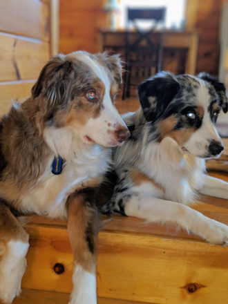 Gunner and Colt - Australian Shepherds on Raw Diet