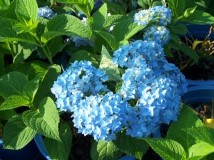 Carla loves to garden, and these beautiful hydrangeas are on display every year