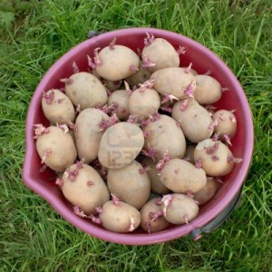 13750648-the-red-bucket-full-of-seed-potatoes