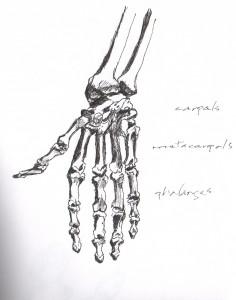 hand anatomy 1