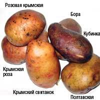 potato31