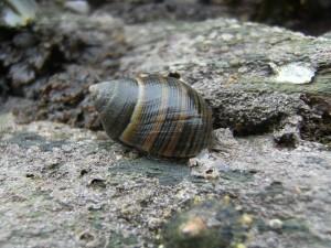 Mollusc-Edible Winkle12-03-09
