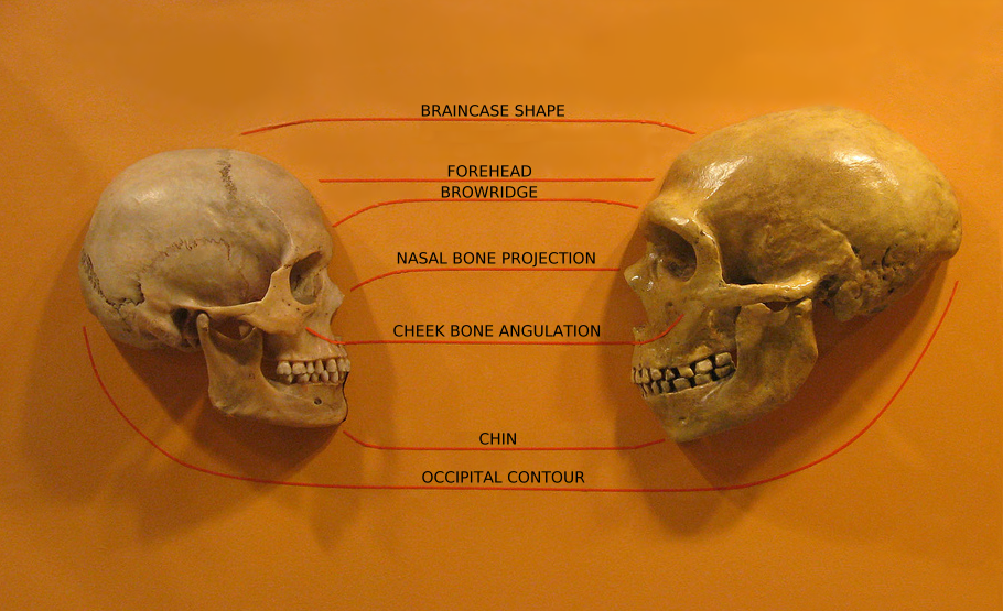 Sapiens_neanderthal_comparison_en