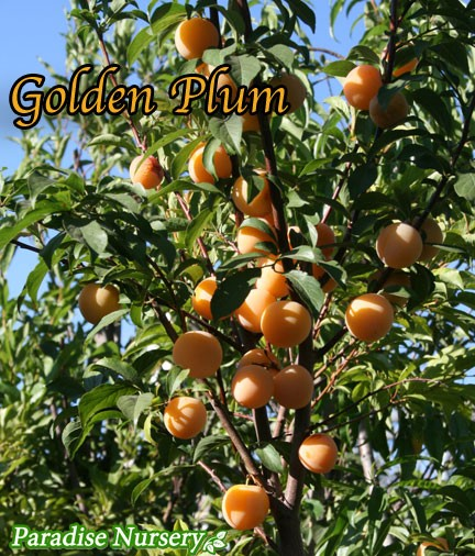 golden-plum2-weblogo
