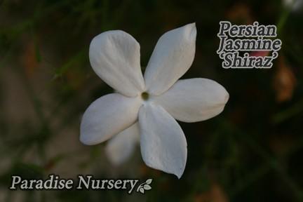 persian-jasmine-yas-shiraz-web_1