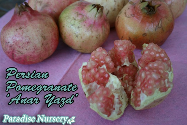 Anar Yazd persian pomegranate