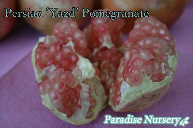 pomegranate-yazd-close up