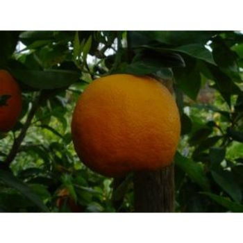 Citrus Trees For Sale At Paradise Nursery in Los Angeles