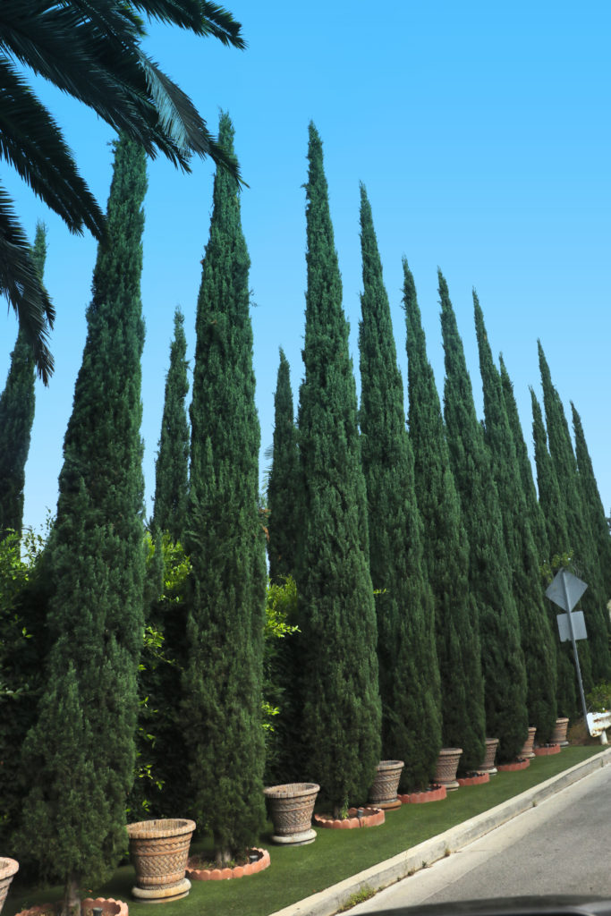 Italian Cypress Trees For Sale At Paradise Nursery