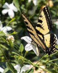 Shiraz jasmine flower attracts butterfly