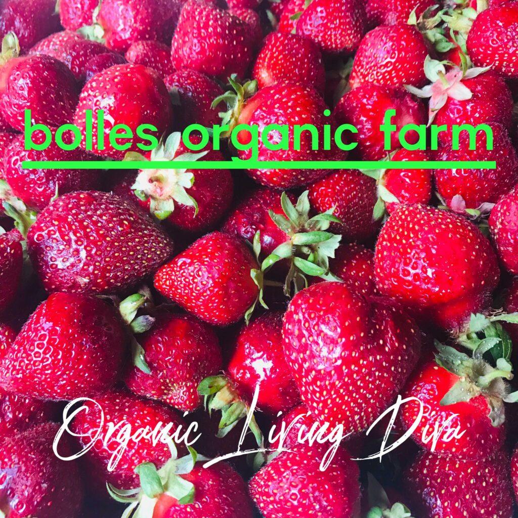 U-pick berry farm gathered organic strawberries