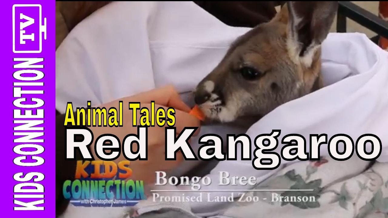Animal Tales: Red Kangaroos with Bongo Bree