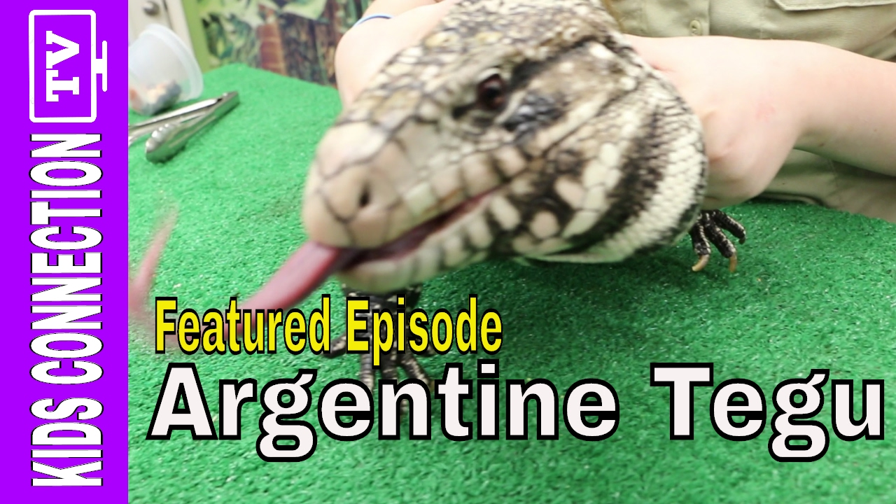 FEATURED VIDEO: Kids Animal Tales: Argentine Tegu with Bongo Bree – [Video]