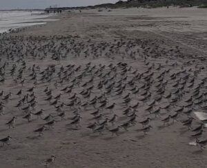 Tranquility Tuesday #24 The Sandpipers Dance !