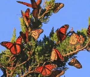 Tranquility Tuesday #30 The Monarch butterflies at the point
