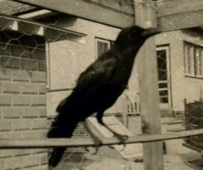 Stone Harbor Museum Minute #28 Jimmy the Crow