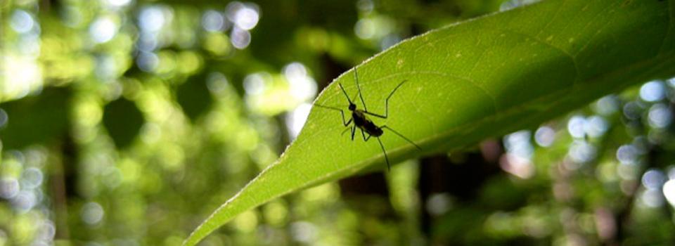 Mosquito-1