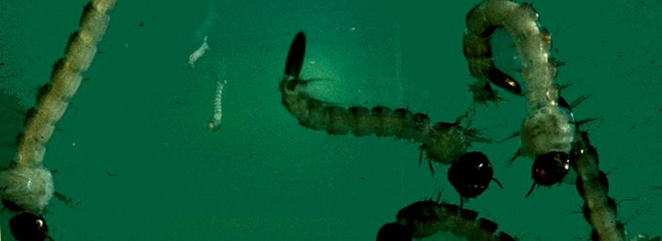 Mosquito-larvae