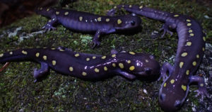 optimized_salamanders_dwoodhams_760x400