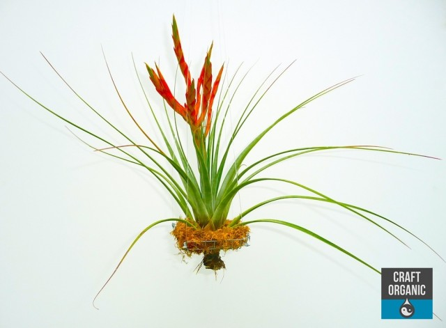 Floating Tillandsia