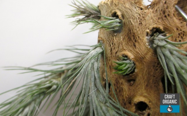 Tillandsia on Cholla Wood 02