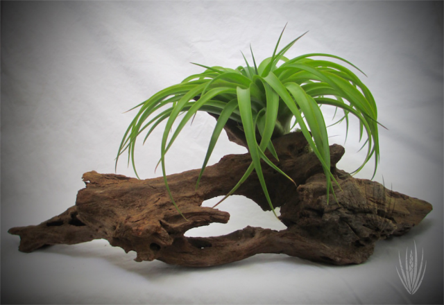 Tillandsia on Driftwood