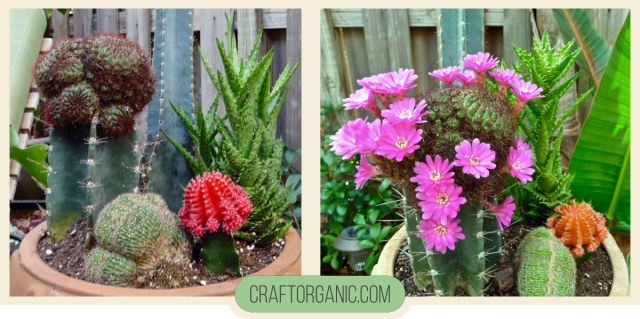 Blooming Grafted Cactus