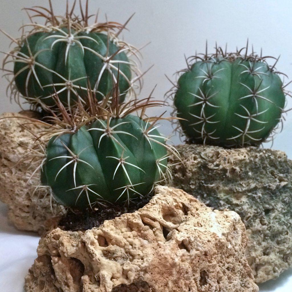 Melocactus
