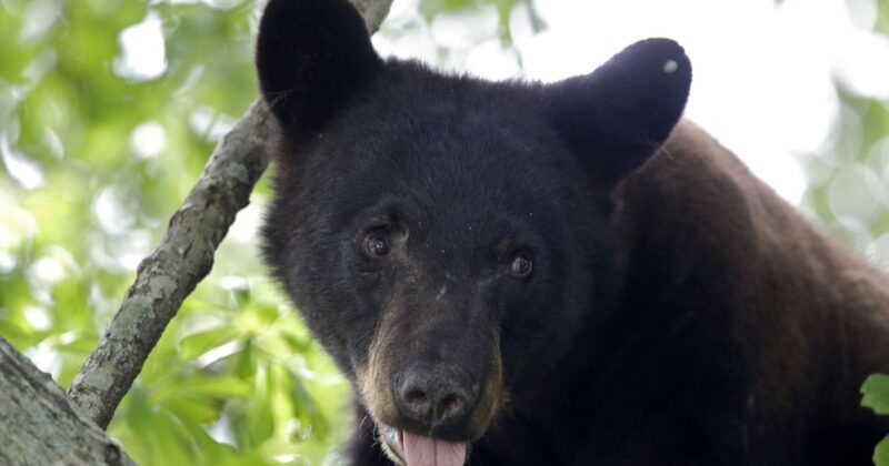 Living in Harmony with Black Bears in Central Florida