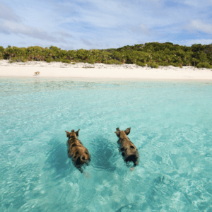 Pigs swimming in southern Bahamas on Pig Island