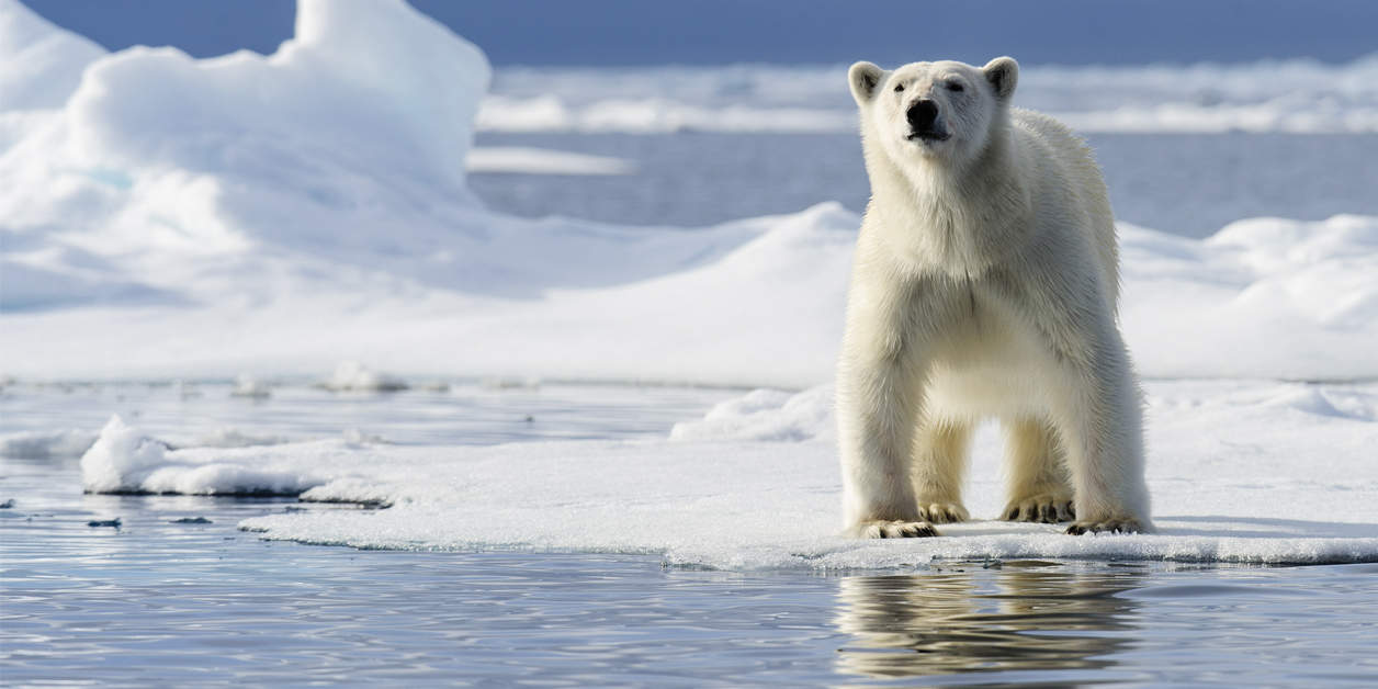 Polar Bear standing on the ice looking straight ahead in the Arctic