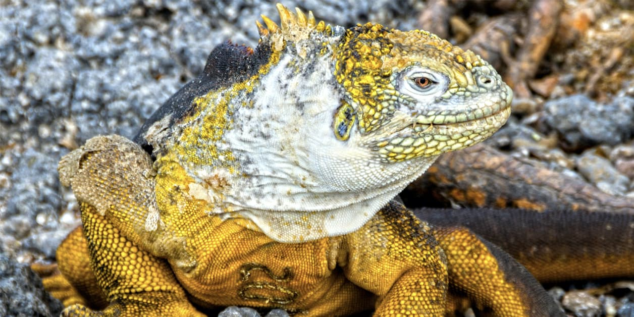 Yellow Galapagos Iguana looking to the side.