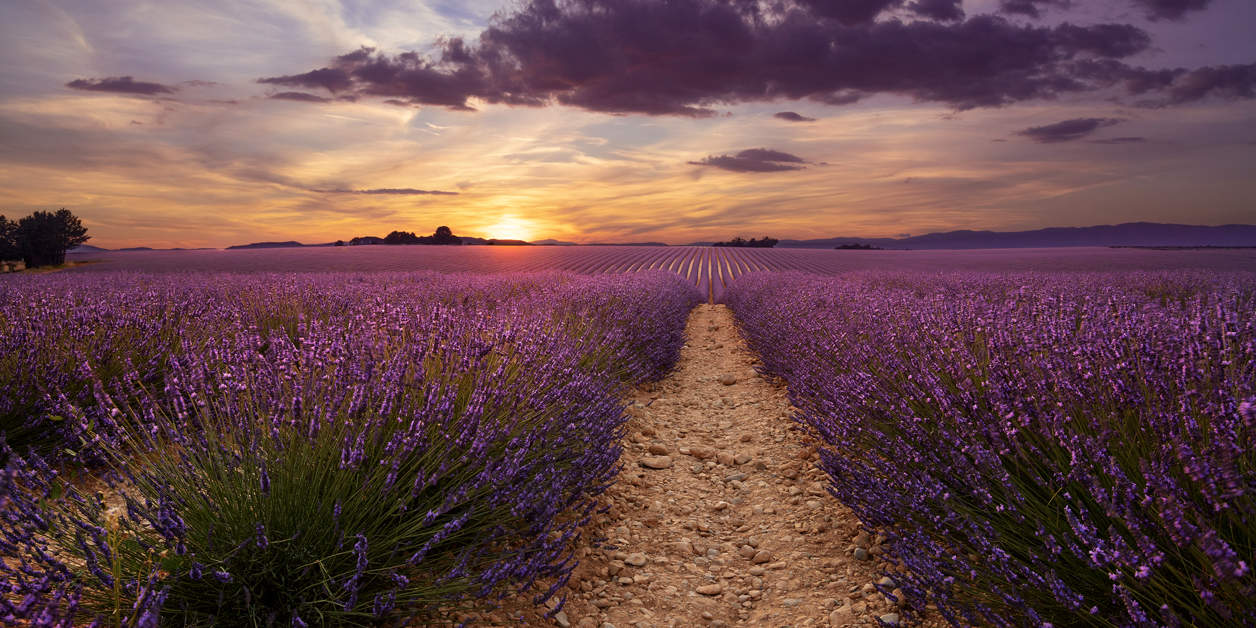 Purple blooming lavender field of Provence, France, at sunset with a beautiful scenic sky