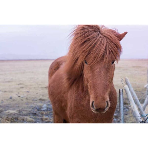 brown icelandic horse in grassy field