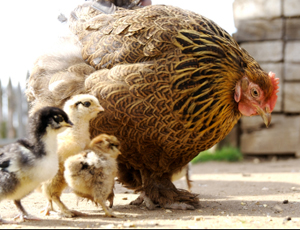 A mother hen and her young chicks...