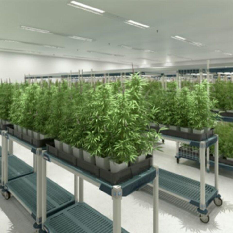 Cannabis (12)