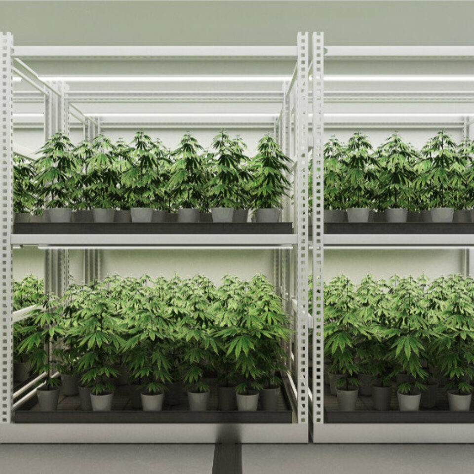 Cannabis (4)