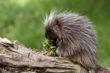 Porcupine (1)