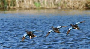 Teal Ducks Landing