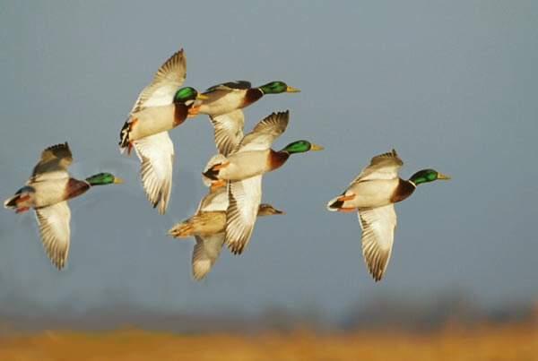 Weekday Duck hunt